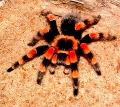 Mexican Redknee Tarantula Brachypelma Smithi Is A Terrestrial Native To The Western Faces Of Sierra Madre Occidental And Del Sur