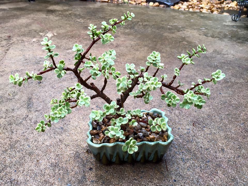 Nice bonsai  Portulacaria afra 'Variegata'  by  Cheryl Jones
