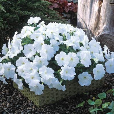 Petunia Trilogy White F1 Petunias Edible Garden Flowers