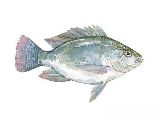 Tilapia watercolor painting Fish Illustration for Thalassa Seafoods #watercolorpainting #watercolor #painting #food