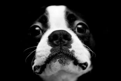 How could you not love Boston Terriers???