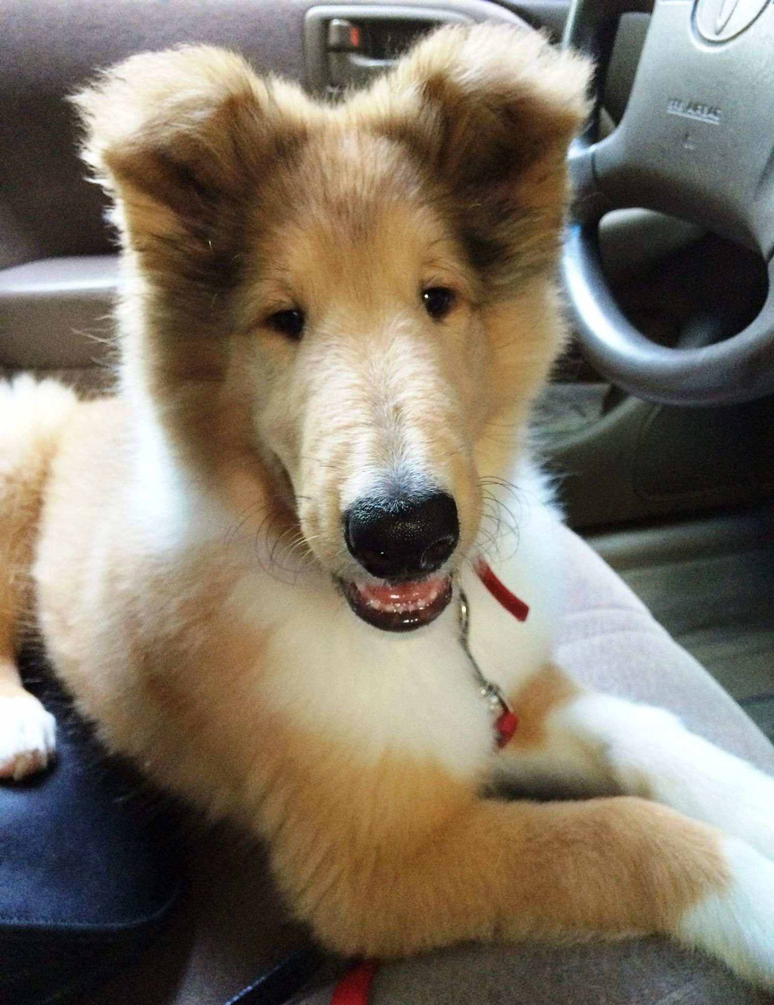 Pin By I Love Dogs On Collie Rough Collie Dog Facts Best Dogs