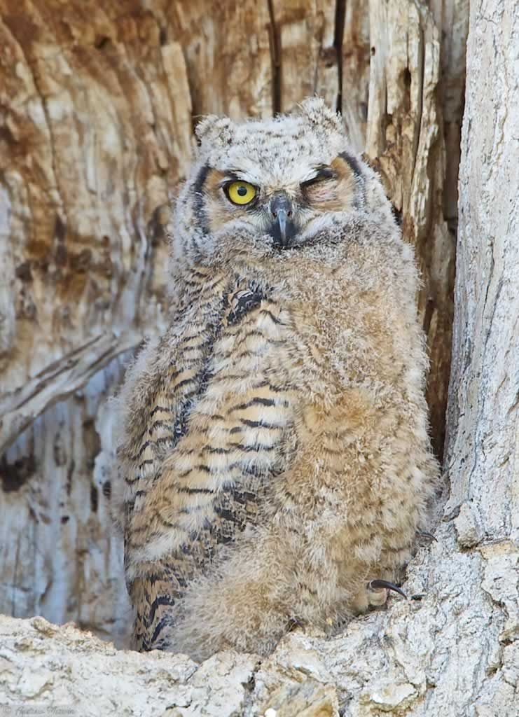 GREAT HORNED OWL CHICK  by Andrew Merwin