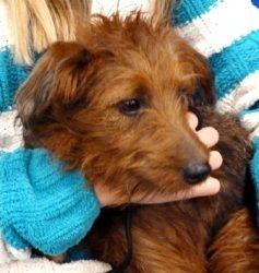 Adopt Abby On Petfinder Irish Terrier Beloved Dog Terrier Dogs