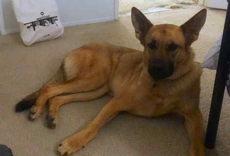 Adopted May German Shepherd Dog In Escondido Ca German