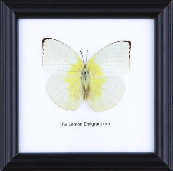 THE LEMON EMIGRANT - COTTON MOUNTED BUTTERFLY TAXIDERMY 12X12CM ...