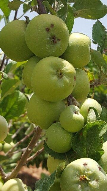 التفاح الأخضر صيدلية متحركة نجهل ما يوجد بداخلها من شفاء للانسان لذلك تعرف على فوائد التفاح الأخضر الغني جدا بأشياء هامة يحتاجها Fruit Grapes Food