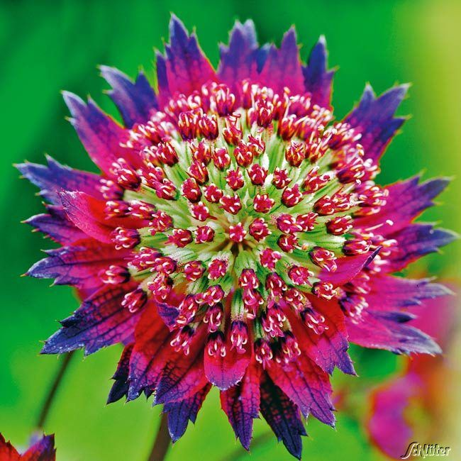 sterndolde 39 moulin rouge 39 astrantia major stuff michael likes pinterest. Black Bedroom Furniture Sets. Home Design Ideas