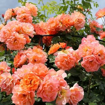 Westerland Rose Blooming Season Fall Summer Zones Zone 5