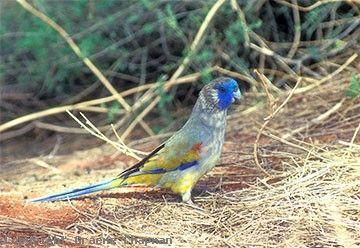 Not your every day parrot, very few people have ever seen one because they live in such a remote region. The road along the transcontinental railway line which traverses the heart of their habitat is not one to go on without an extra spare tyre! However, they have also been seen not far from the main Eyre Highway between Mundrabilla and Eucla in acacia scrub.