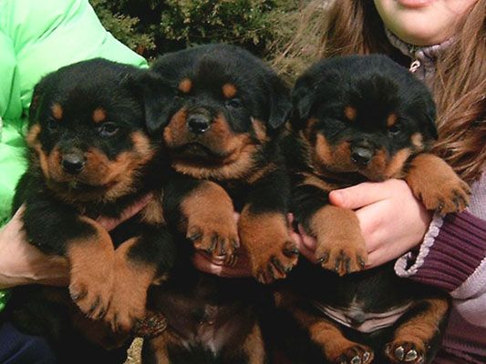 Rottweilers Fluffy Puppies For Sale Gifts Pinterest Fluffy
