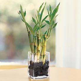 Feng shui Bamboo plants is considered one of the luckiest plants