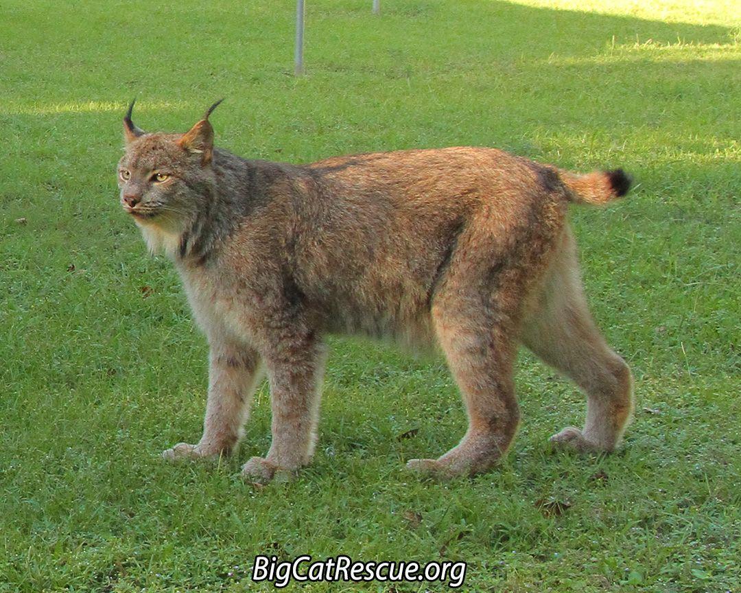 GilliganCanadian Lynx have a flared facial ruff, black ear