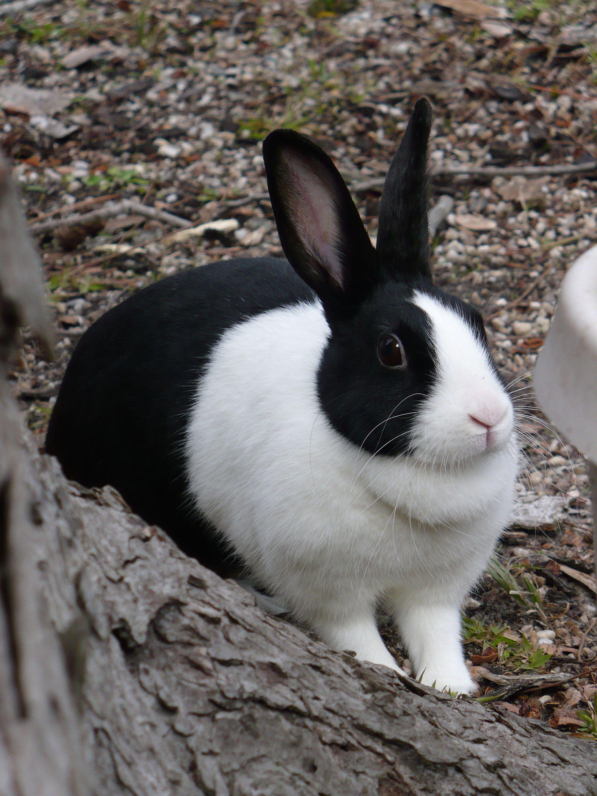 Dutchrabbit 01 Jpg 2304 3072 Pixels Dutch Rabbit Pet Rabbit Cute Animals