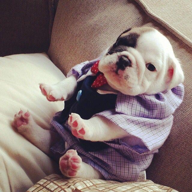 English Bulldog Puppy Www Bullymake Com Puppies Hayvanlar