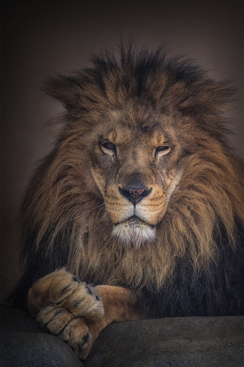 ♕ M Portrait of a lion