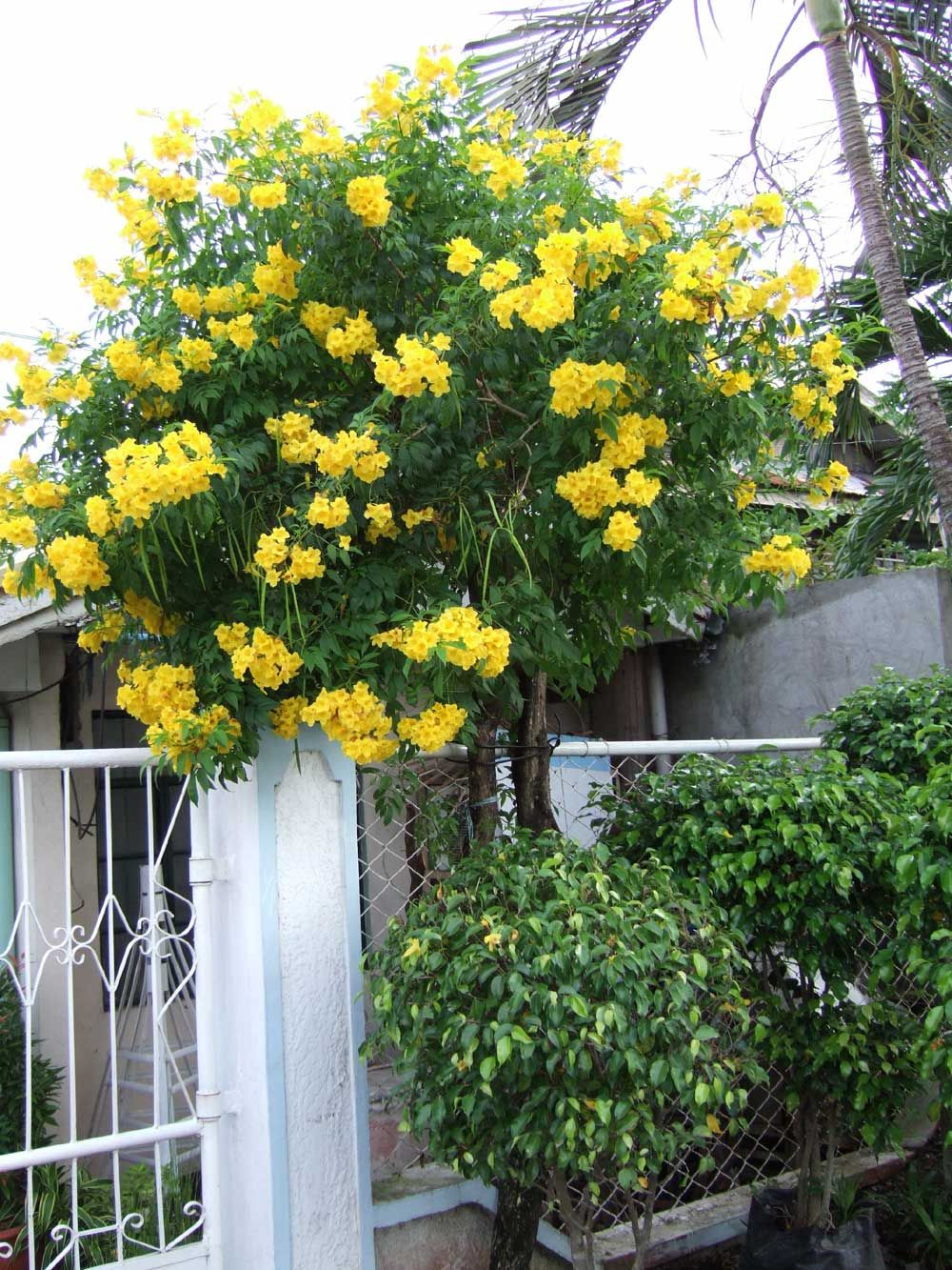 Yellow Bells Yellow Trumpet Tree Tecoma Stans Rizal Avenue