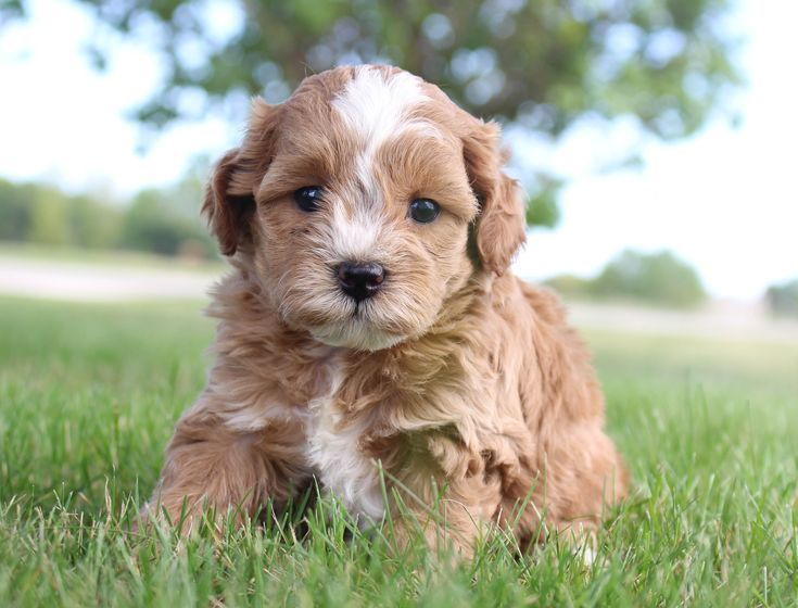 Cokey cavapoos for sale in shipshewana indiana