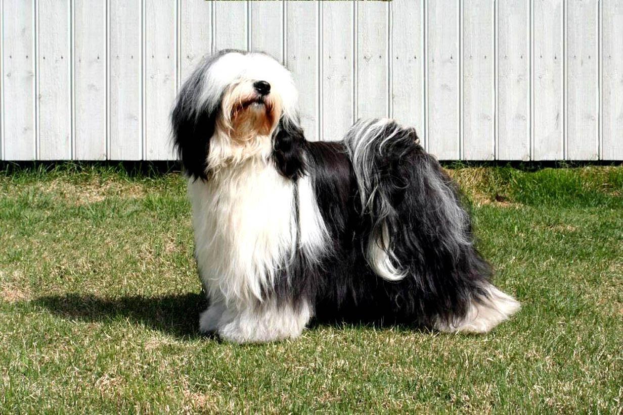 Tibetan Terrier Hands Down I Want This Tibetan Terrier Terrier Puppies Tibetan Dog