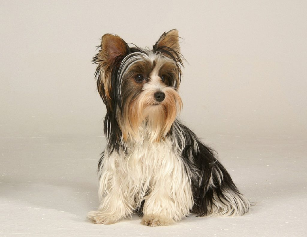 Pin about Yorkshire terrier, Yorkshire terrier puppies and