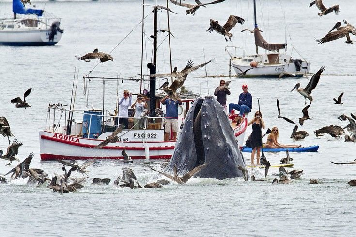 A humpback whales lunges out of the water to feed near a gathering of spectators just off a beach at San Luis Obispo, Calif.