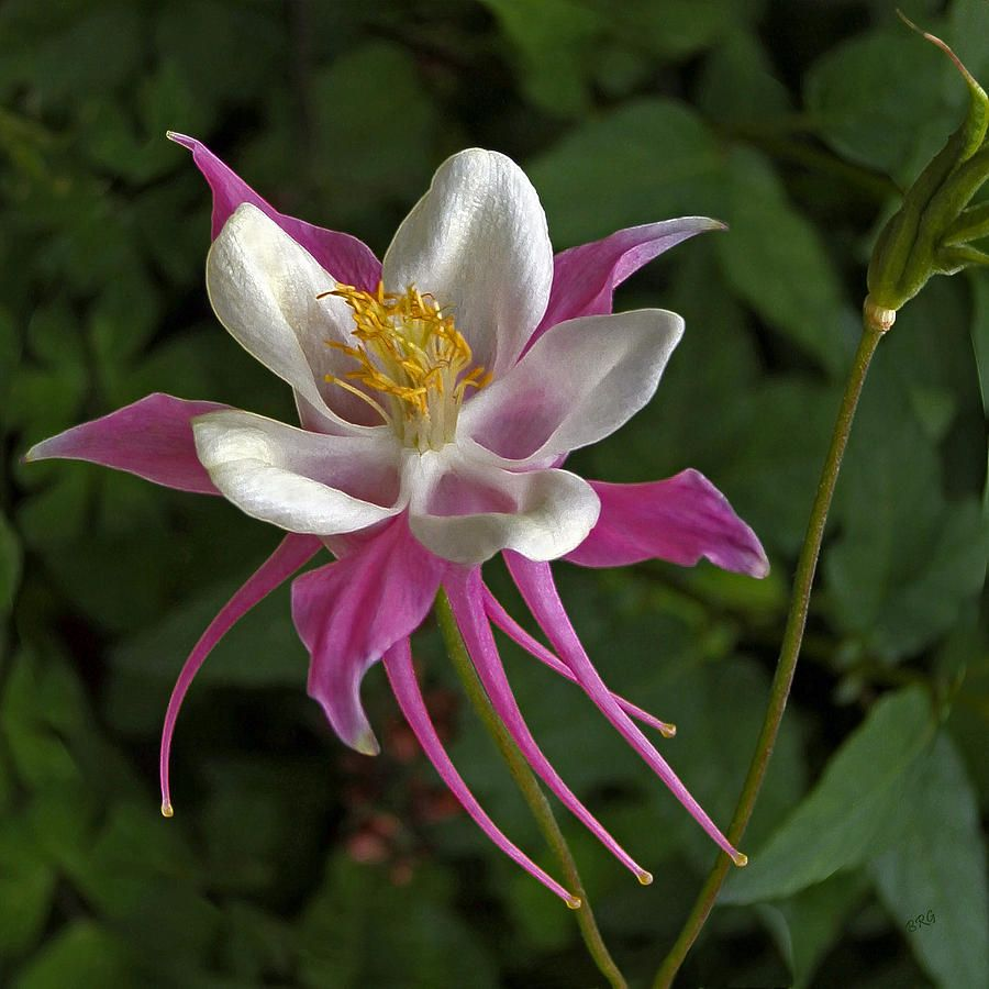 Pink Photograph Pink Columbine Flower By Ben And Raisa Gertsberg