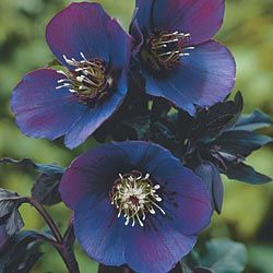 Helleborus 'Blue Lady' - Blue Lade Lenten Rose. A semi-evergreen perennial that likes a shaded position.  They are one of the first flowers to bloom, blooming from late winter to mid-spring.  Suitable for zones 4-9.