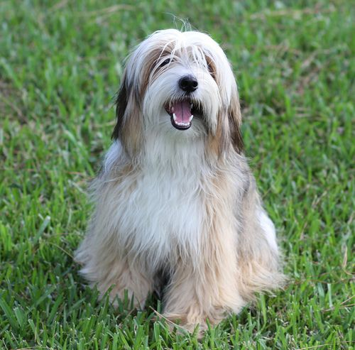 Tibetan Terriers Tibetan Terrier Terrier Unusual Dog Breeds