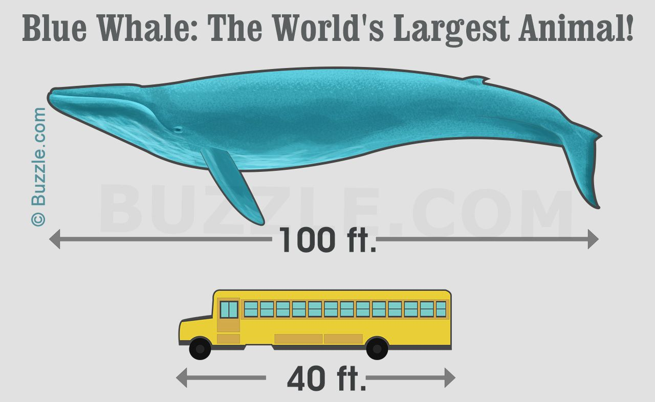 Blue whale fact | Know your Animals and Birds | Blue whale