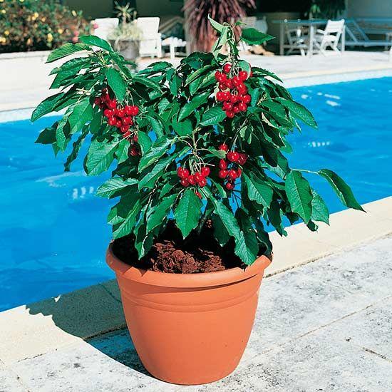Dwarf Cherry Tree Garden Bing Cherry Trees Garden Dwarf Cherry Tree Patio Fruit Trees