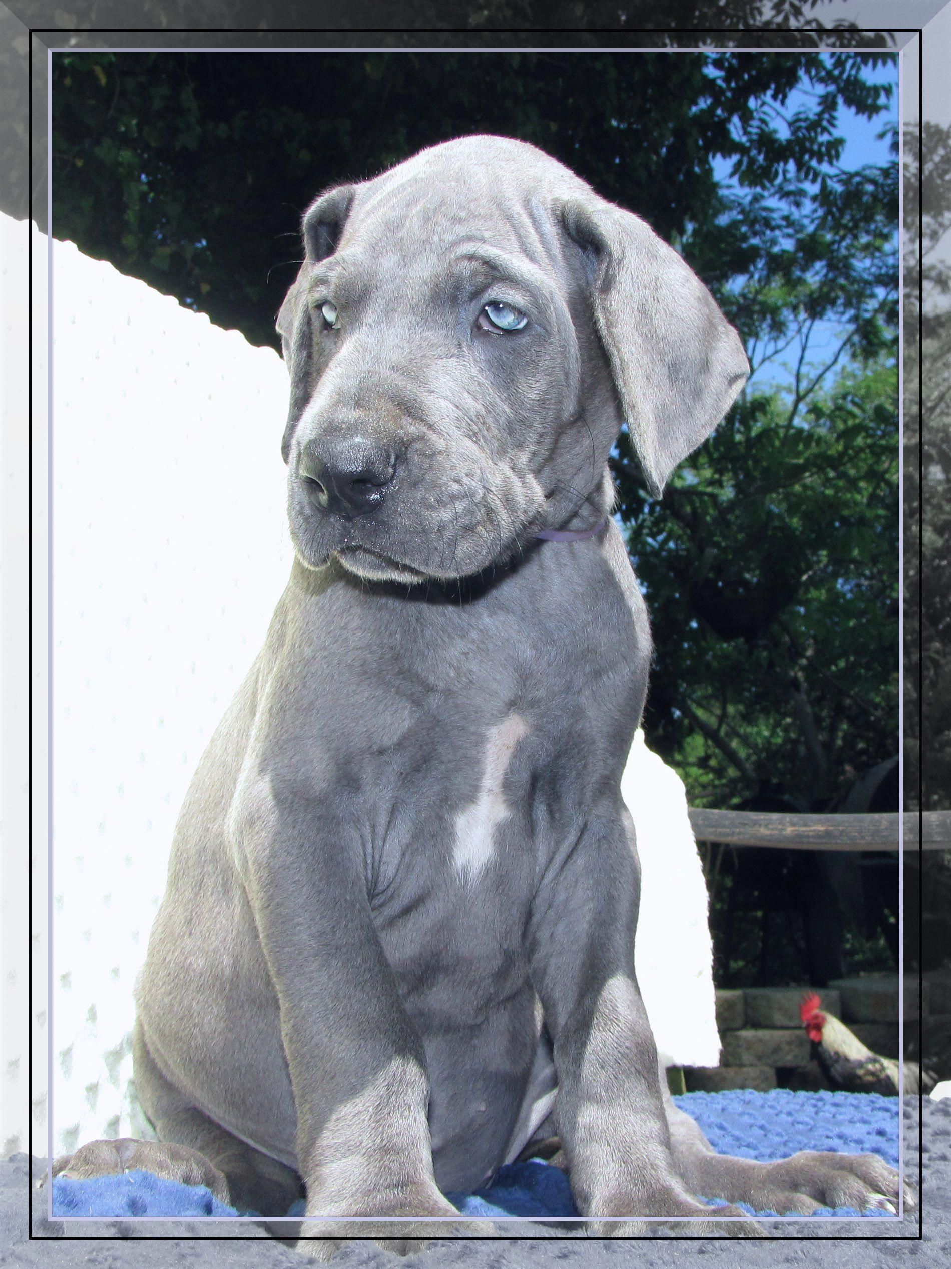 More About The Noble Great Dane Puppies Health
