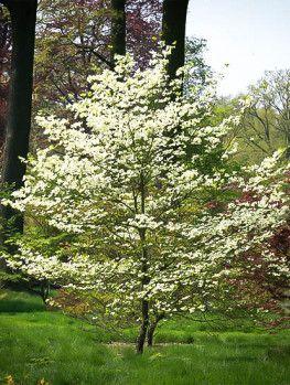 Cherokee Princess Dogwood Tree Dogwood Trees Dogwood Flowering Trees