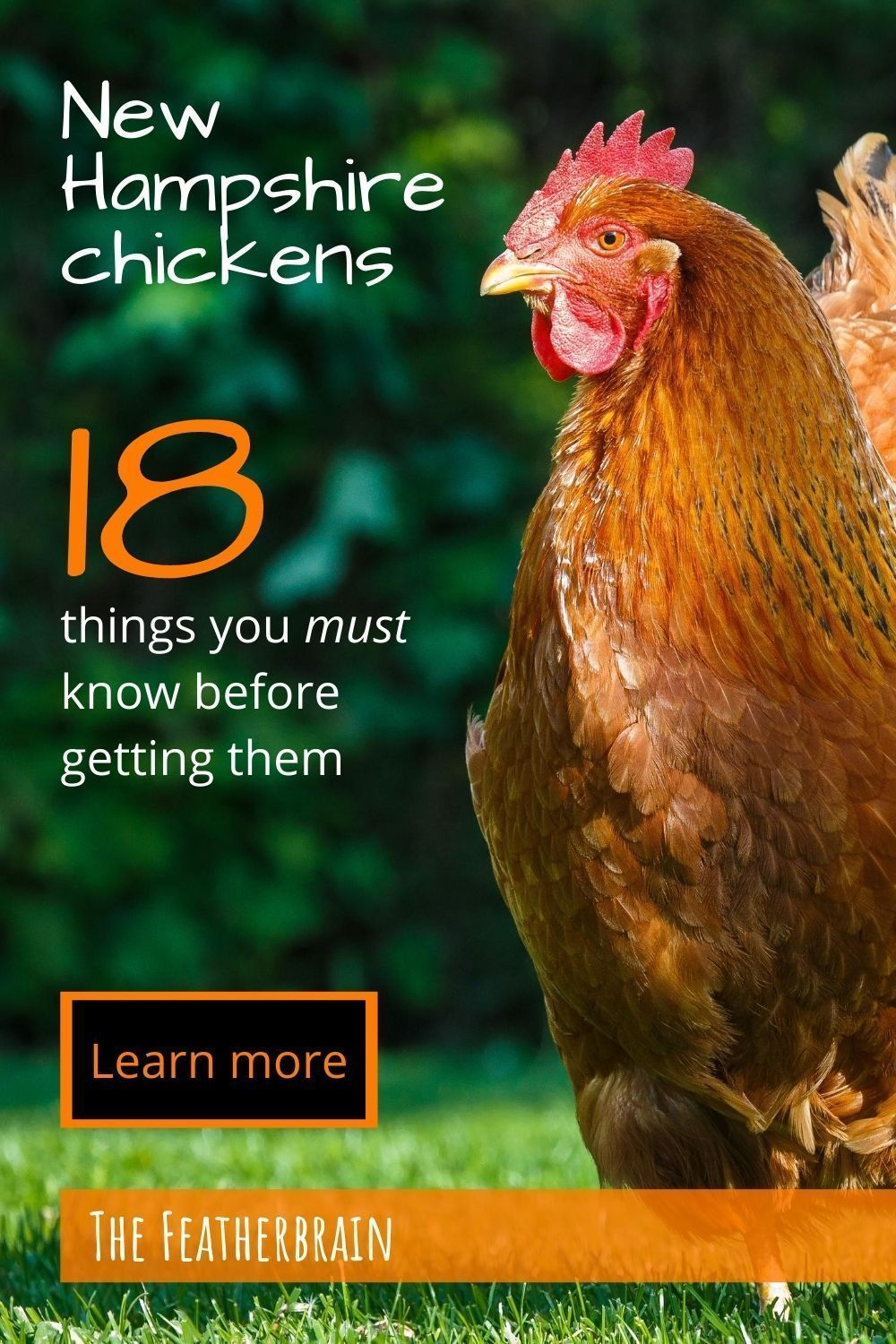 Is the New Hampshire chicken breed right for you?