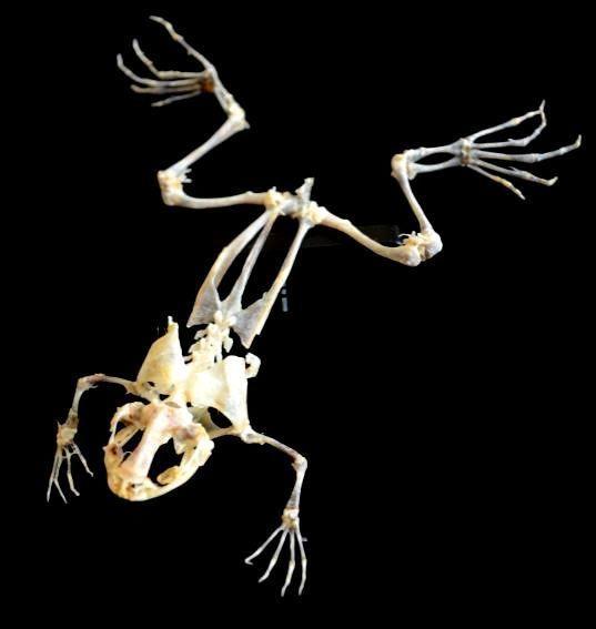 Frosch Skelett XXL Präparat Tierpräparat Tierschädel Trophäe ...