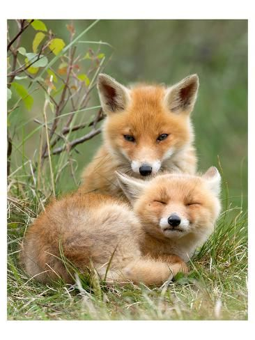'Pair of Cuddling Red Fox Cubs' Premium Giclee Print - | Art.com