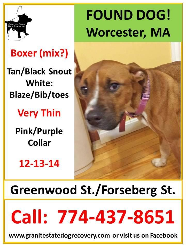 Found Male Boxer (mix?) Worcester, MA 121914 Tan/Black