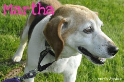 Hi I Am A Healthy 10 Year Old Senior Female Beagle Mix I Am Full
