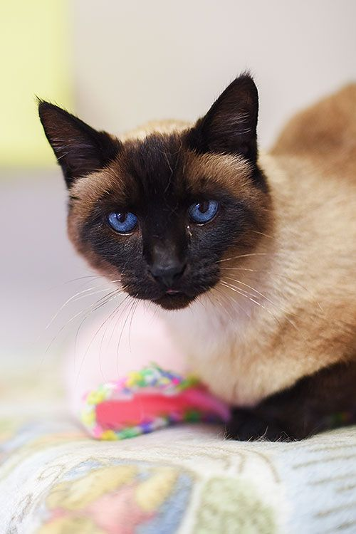 Adopt From Our Sanctuary Siamese Cats Siamese Cats Blue Point Cat Adoption