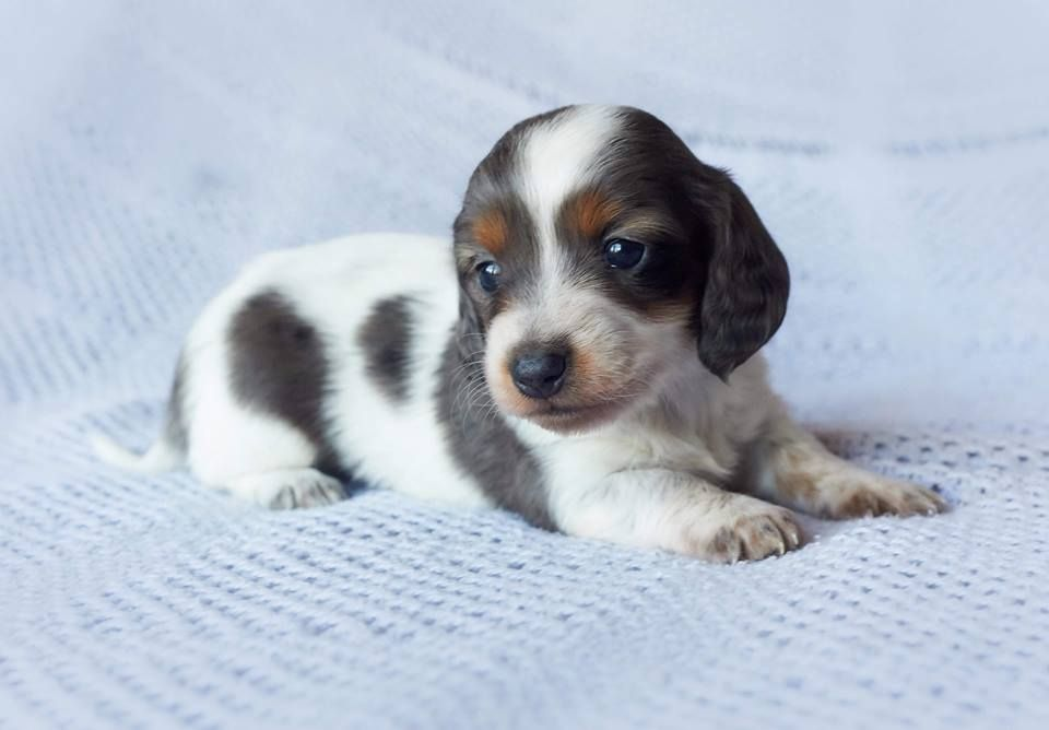 The Piebald Pattern Of Dachshund Carries An Increased Risk Of Deafness Ready October 21 2016 Past L In 2020 Dachshund Puppies For Sale Mini Dachshund Dachshund Pets