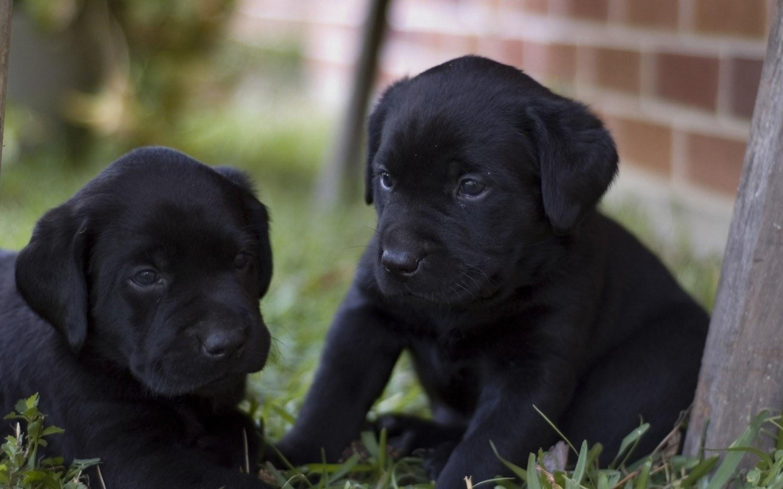 Download Labrador Retriever Black Adorable Dog - 2d51d8f64f3253e591a9c9ee0e7d6d76  You Should Have_762937  .jpg
