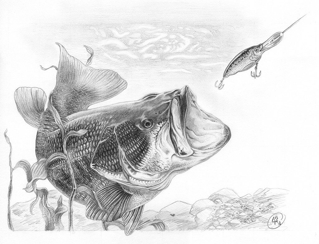 Largemouth Bass Graphite Pencil On Paper 1025 X 15 Actual
