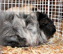 Abyssinian guinea pig - Wikipedia, the free encyclopedia