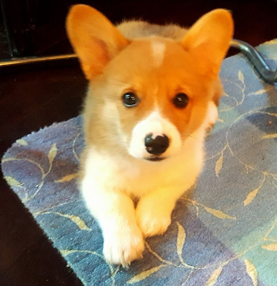 My Sweet Corgi Puppy 11 Weeks Old Named Jett Corgi