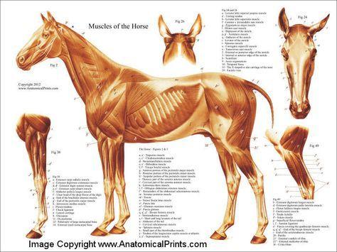 Horse Muscular Anatomy Poster 18 X 24 Skulptur Pinterest
