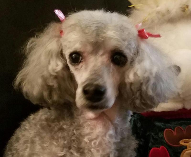Adopt Faith On Adoption Poodle Pets
