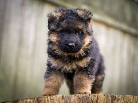 German Shepherd Dog Puppy For Sale In Portland Or Adn 26626 On