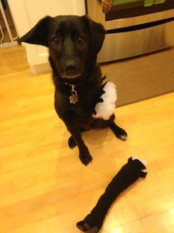 Tripawd Halloween Costume Idea Stuffed Animal Lost Arm Dog