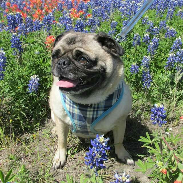 Pin By Angie Roberson On Bluebonnets French Bulldog Pugs Blue