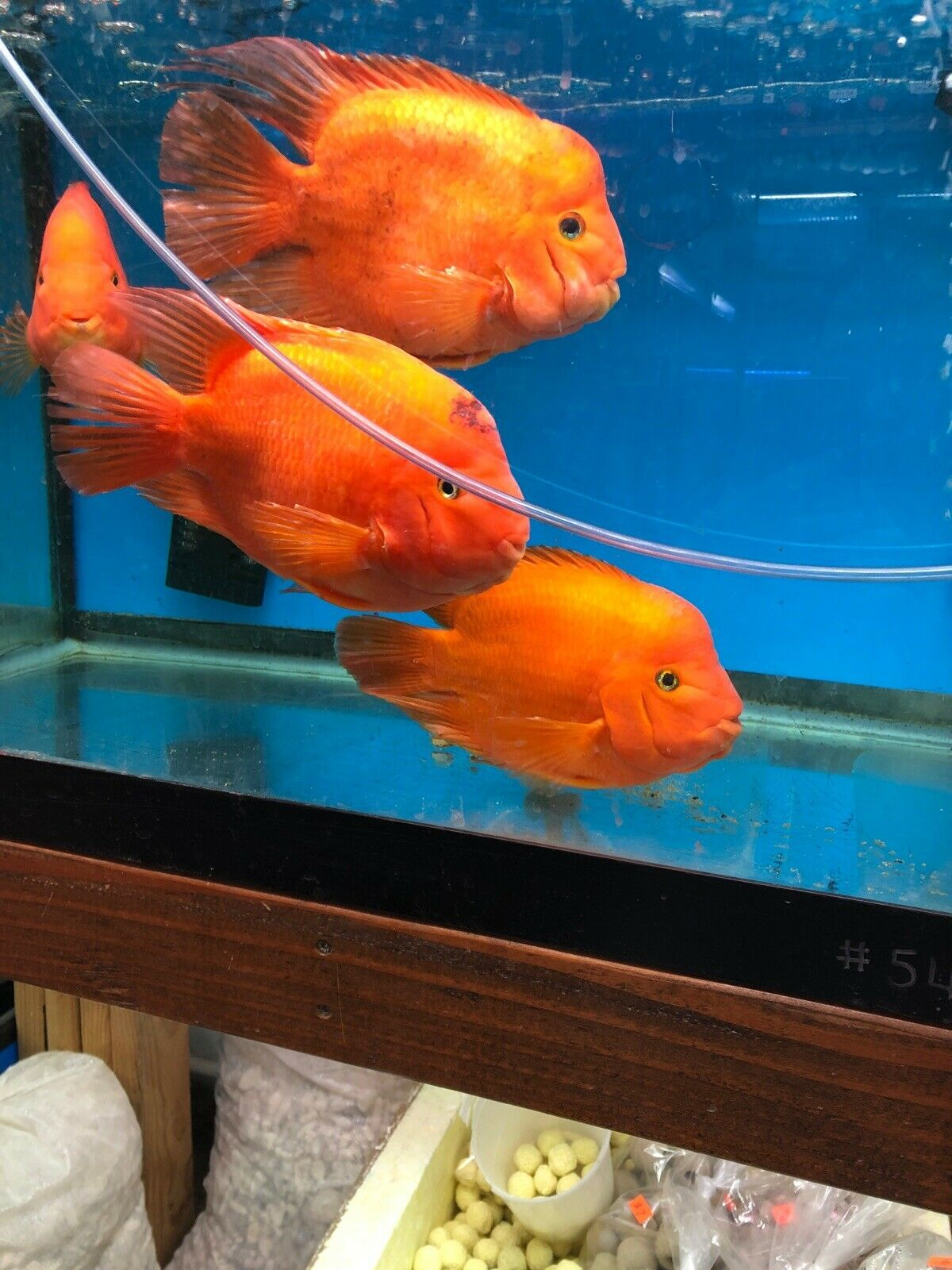 Red King Kong Parrot Cichlid Mammons 10 Inches 75 00 One Day Shipping Cichlids Cichlid Aquarium Fish Pet