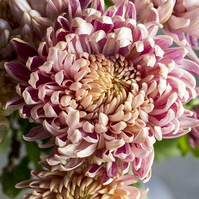 Chrysanthemum Elegant Symbolic Flowers For Autumn Bouquets Sunset Flower Farmer Chrysanthemum Chrysanthemum Growing